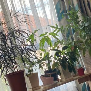 我が家の観葉植物が喜んでいる!