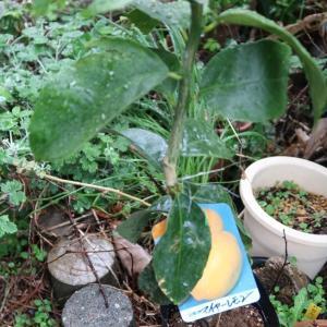 庭を開墾してマイヤーレモンとライムを植えたおヽ(´∀`)ノ