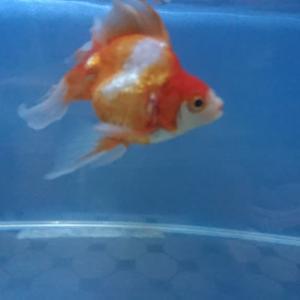 金魚4匹それぞれ