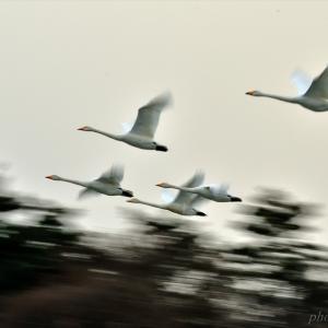 みちのく御所湖白鳥たち15