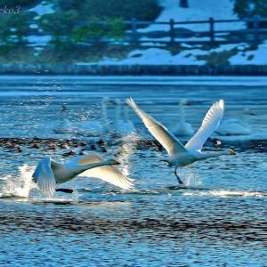 みちのく御所湖白鳥たち7