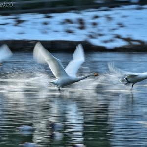 みちのく白鳥たち10