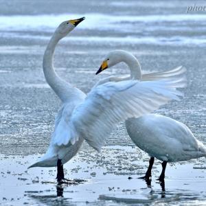 みちのく白鳥情景2