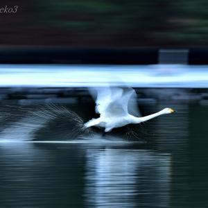 みちのく白鳥たち12