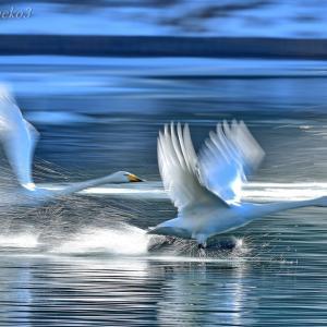 みちのく白鳥たち14