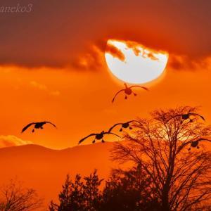 みちのく夕陽に白鳥たち7