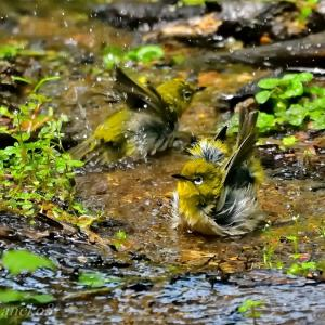 みちのく小鳥達11
