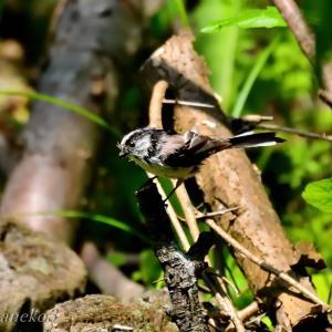 みちのく小鳥達19