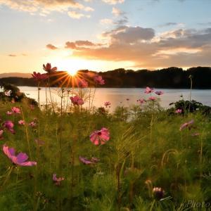 みちのく御所湖秋桜景3