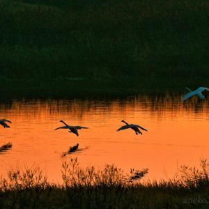 みちのく御所湖白鳥たち13