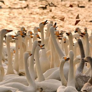 みちのく白鳥たち9