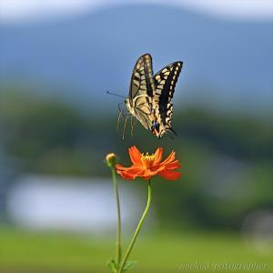 みちのく花と蝶5