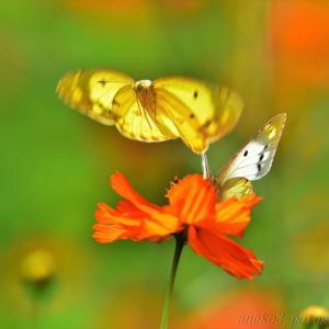 みちのく花と蝶6