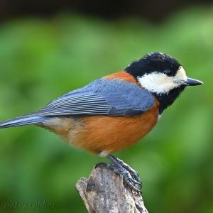 みちのく小鳥たち26