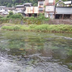 郡上 吉田川で鮎釣りぃー