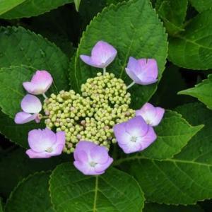 道端の紫陽花