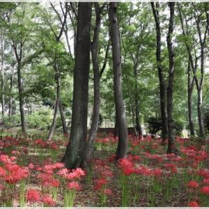 相模原北公園の 彼岸花と秋バラ♪