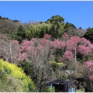 きのこ苑 お山のたいしょうの おかめ桜♪