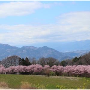 蜂花苑の 春めき桜♪
