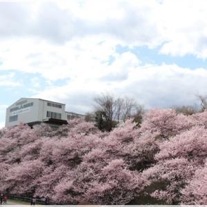 一の堰ハラネ & 春木径の 春めき桜♪