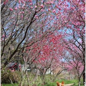 古河の 桃の花♪