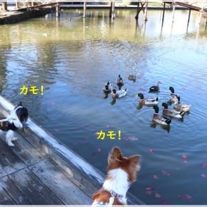 軽井沢へ!お誕生日旅行♪ - 6 ~ 鯉と鴨とタリアセン ~