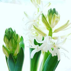 早春のお花 ヒヤシンス