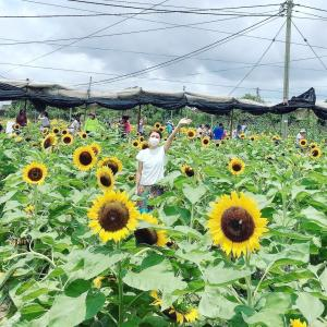 香港の向日葵農園@信芯園