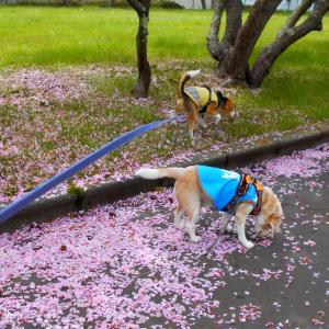 黄緑色の桜と零れ桜