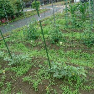 夏野菜が雑草に負けそうです(^^;)