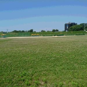 コロナ禍で野球場にクローバーが綺麗に咲き乱れています(^^♪