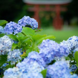名残の紫陽花