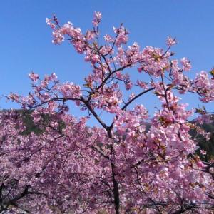 初桜:遠山郷