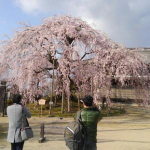 祝・卒業:桜めぐり