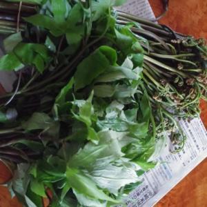 下北の山菜~わらびとシドケ~