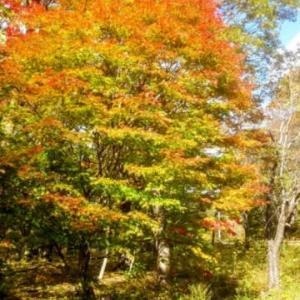 川内町の紅葉~見ごろですね。~