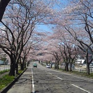 大畑の桜ロード&早掛沼公園の桜🌸🌸