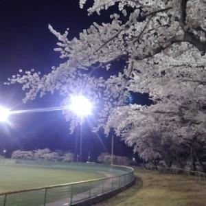 むつ運動公園で「夜桜」!
