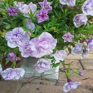 八重咲のカリブラコア アイスバーグ