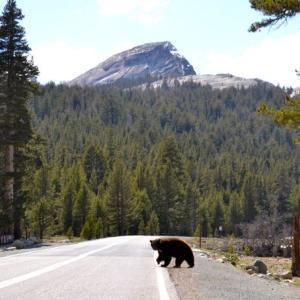 ヨセミテで2頭のクマが車の犠牲に