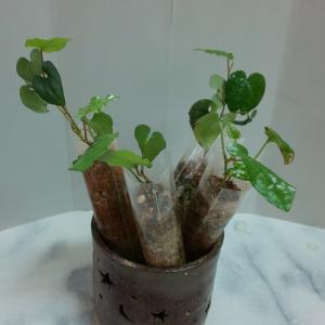 沖縄の植物の販売