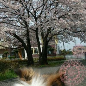 桜満開\(^o^)/