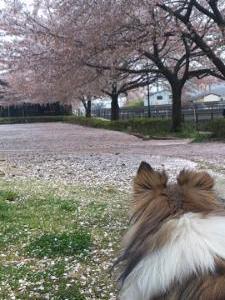 桜の花のカーペット