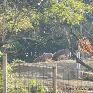 尾道のロバ牧場再訪(2019/11) その1~子ロバたちの成長