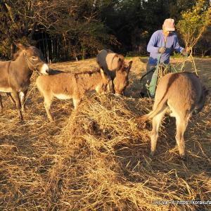 尾道のロバ牧場再訪(2019/11) その6~夕焼けロバさん