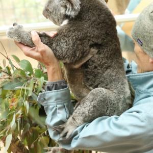 王子コアラ舎は赤ちゃんいっぱい その2~ウメちゃんの赤ちゃん