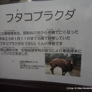 池田のフタコブラクダ よしおさんの骨格標本