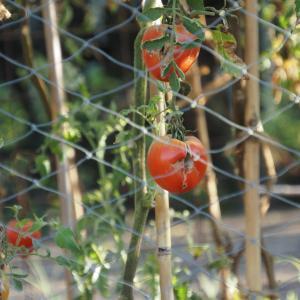 尾道のロバ牧場再訪(2020/9)~その5 美味しいロバ土トマト