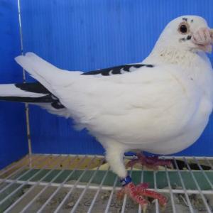 第42回 関東ドイツ鳩協会品評会 若鳩雌の部 横綱 大関