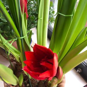 お店のお花 アマリリス